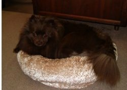Chocolate colored Pomeranian